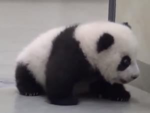 bebe oso panda jugando