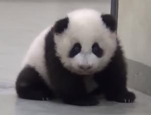 oso panda bebe tierno