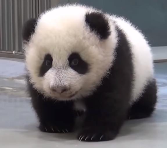 bebe panda juguetón